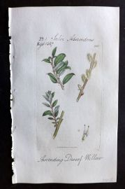 Sowerby C1805 Hand Col Botanical Print. Ascending Dwarf Willow 1962